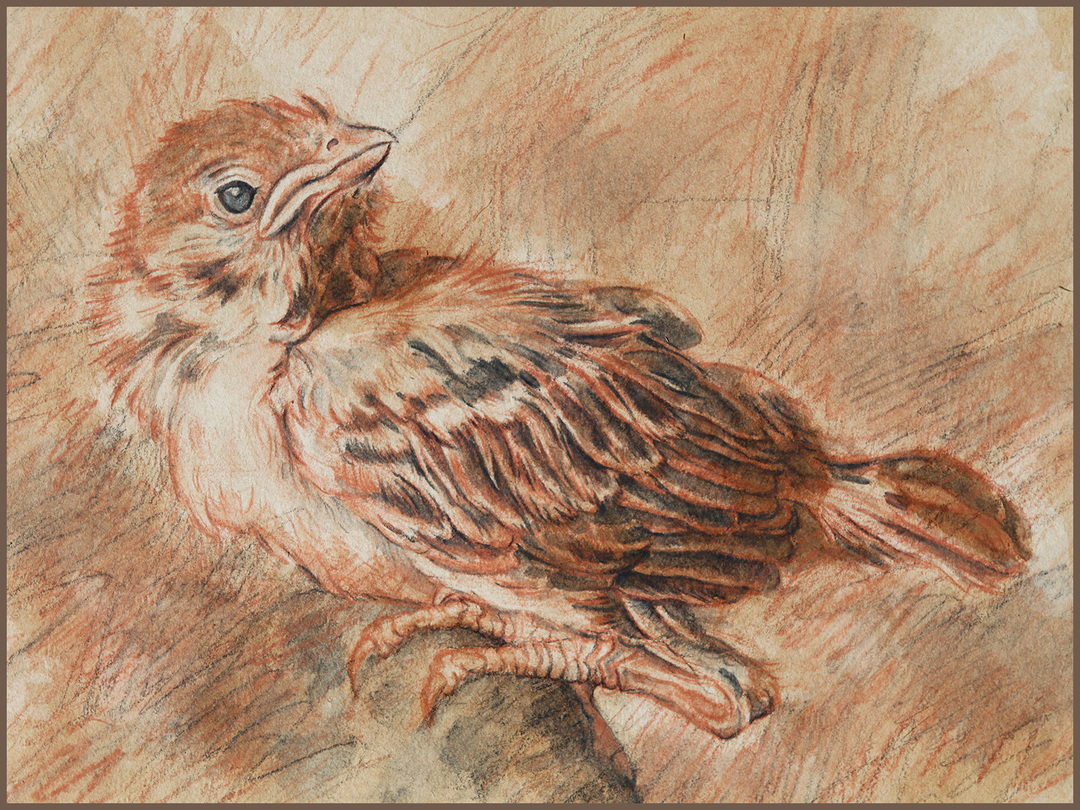 Sparrow drawing with watercolor pencil
